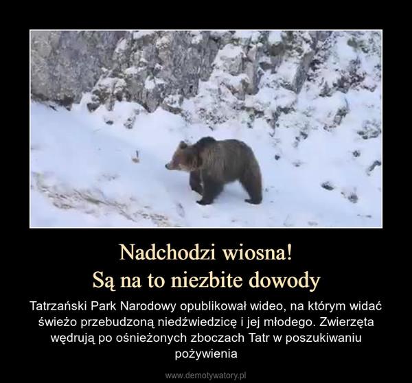 Nadchodzi wiosna!Są na to niezbite dowody – Tatrzański Park Narodowy opublikował wideo, na którym widać świeżo przebudzoną niedźwiedzicę i jej młodego. Zwierzęta wędrują po ośnieżonych zboczach Tatr w poszukiwaniu pożywienia