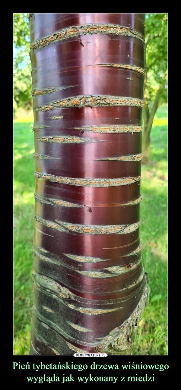 Pień tybetańskiego drzewa wiśniowego wygląda jak wykonany z miedzi –